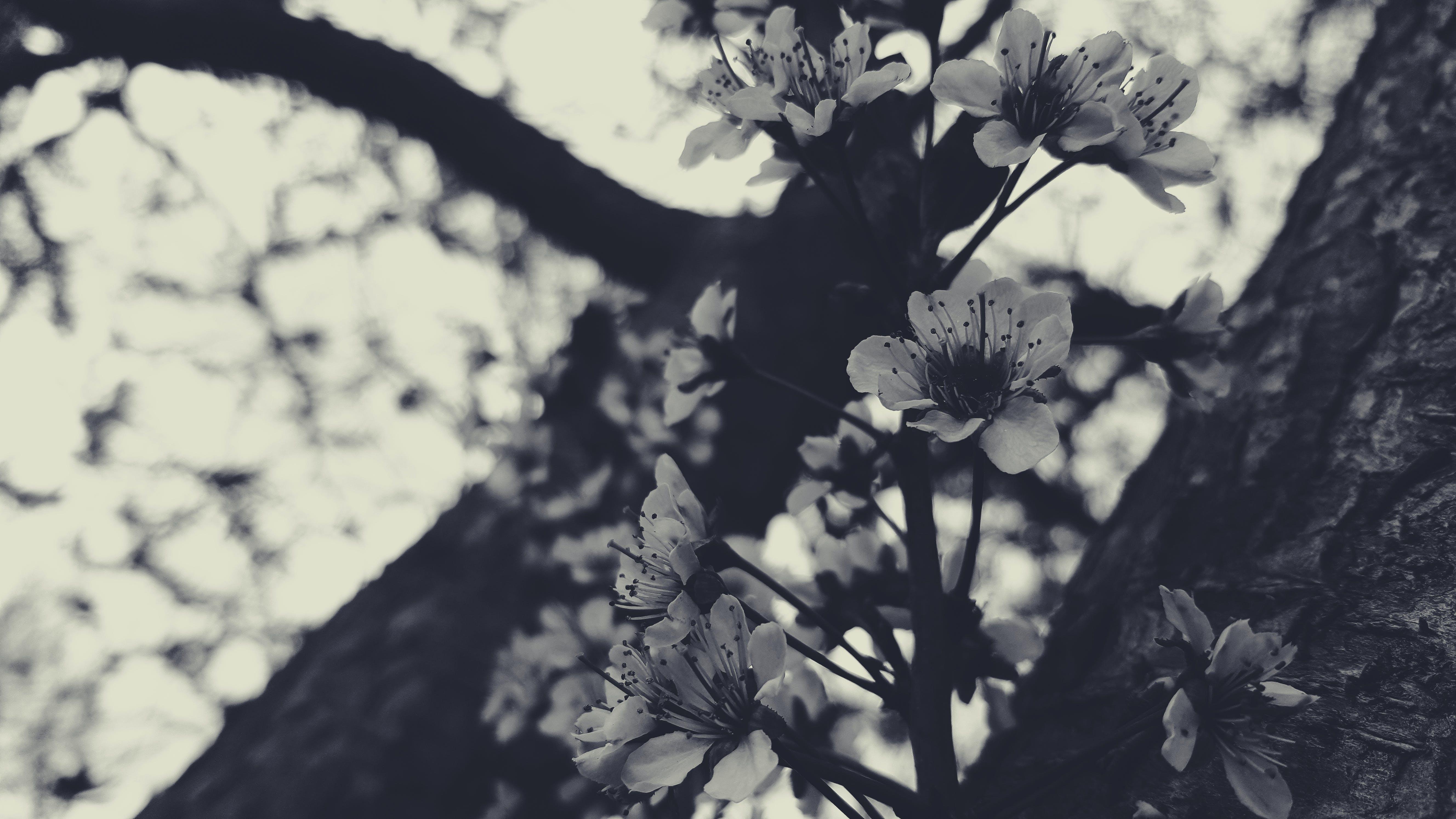 Free stock photo of black, black&white, black-and-white, bloom
