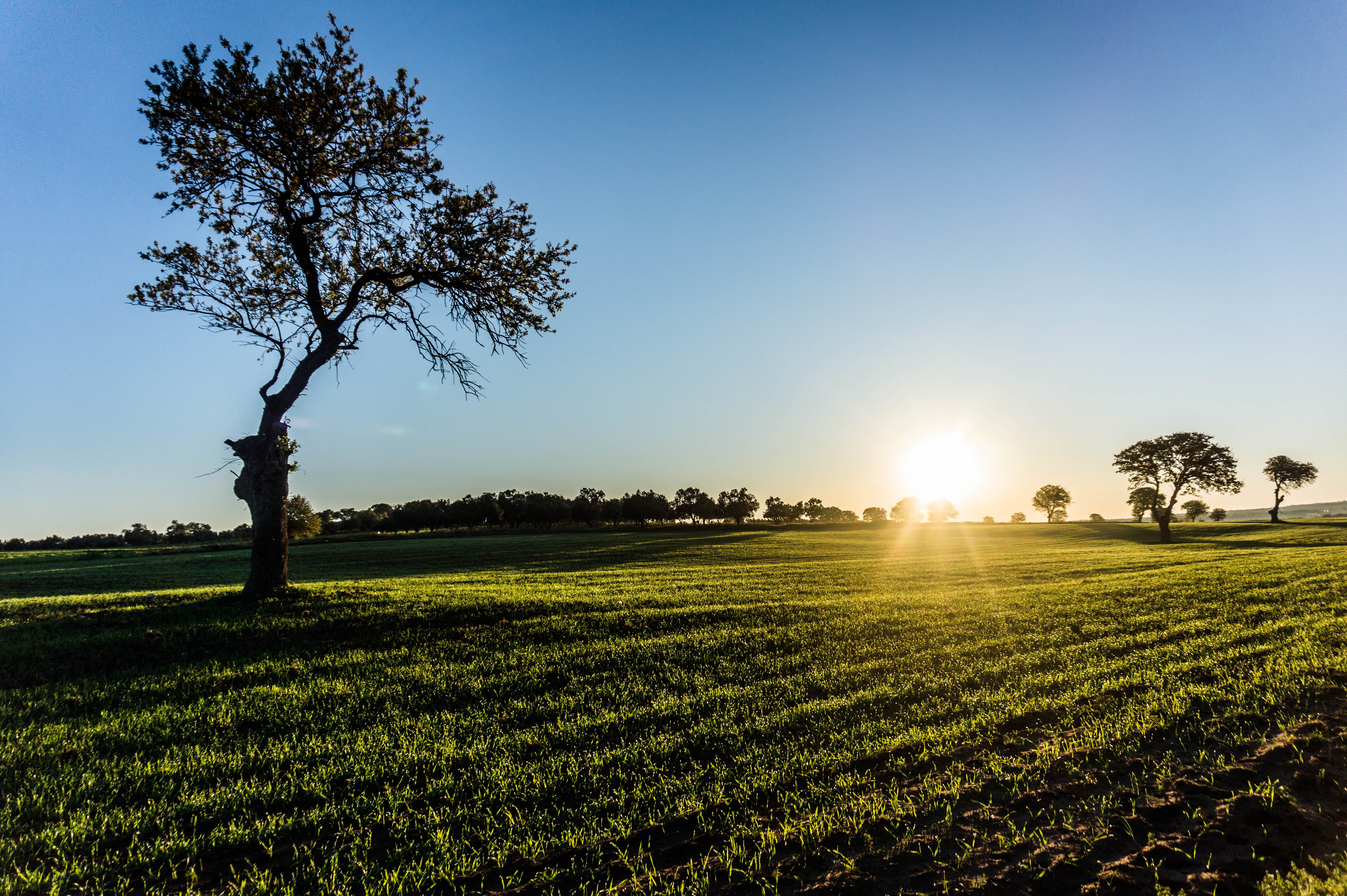 Solitary Tree on Field at Sunrise