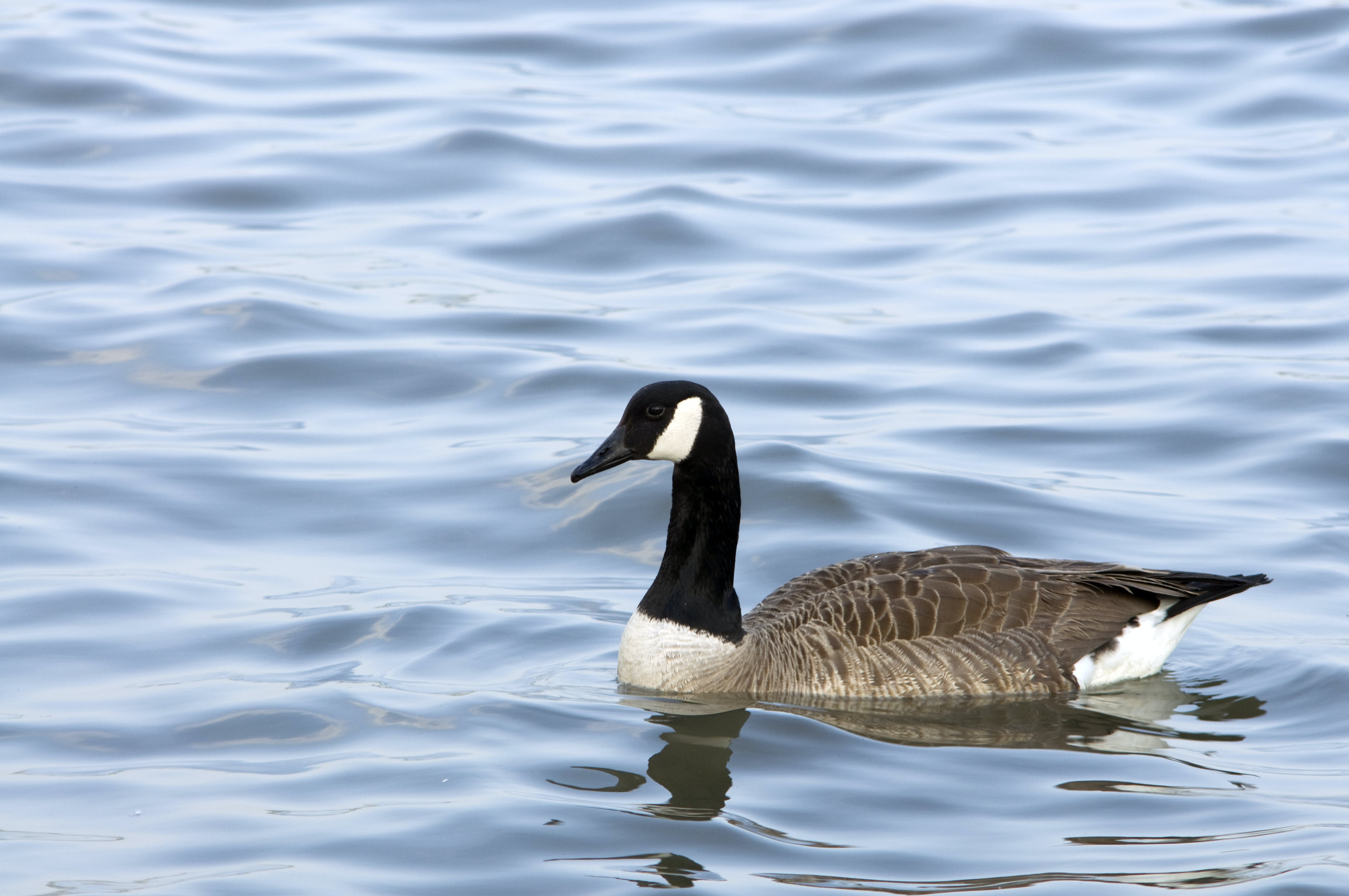 Free stock photo of birds, color, goose, hudson