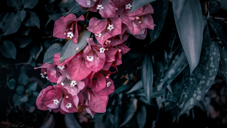 Free stock photo of buds, dark green, flower, garden