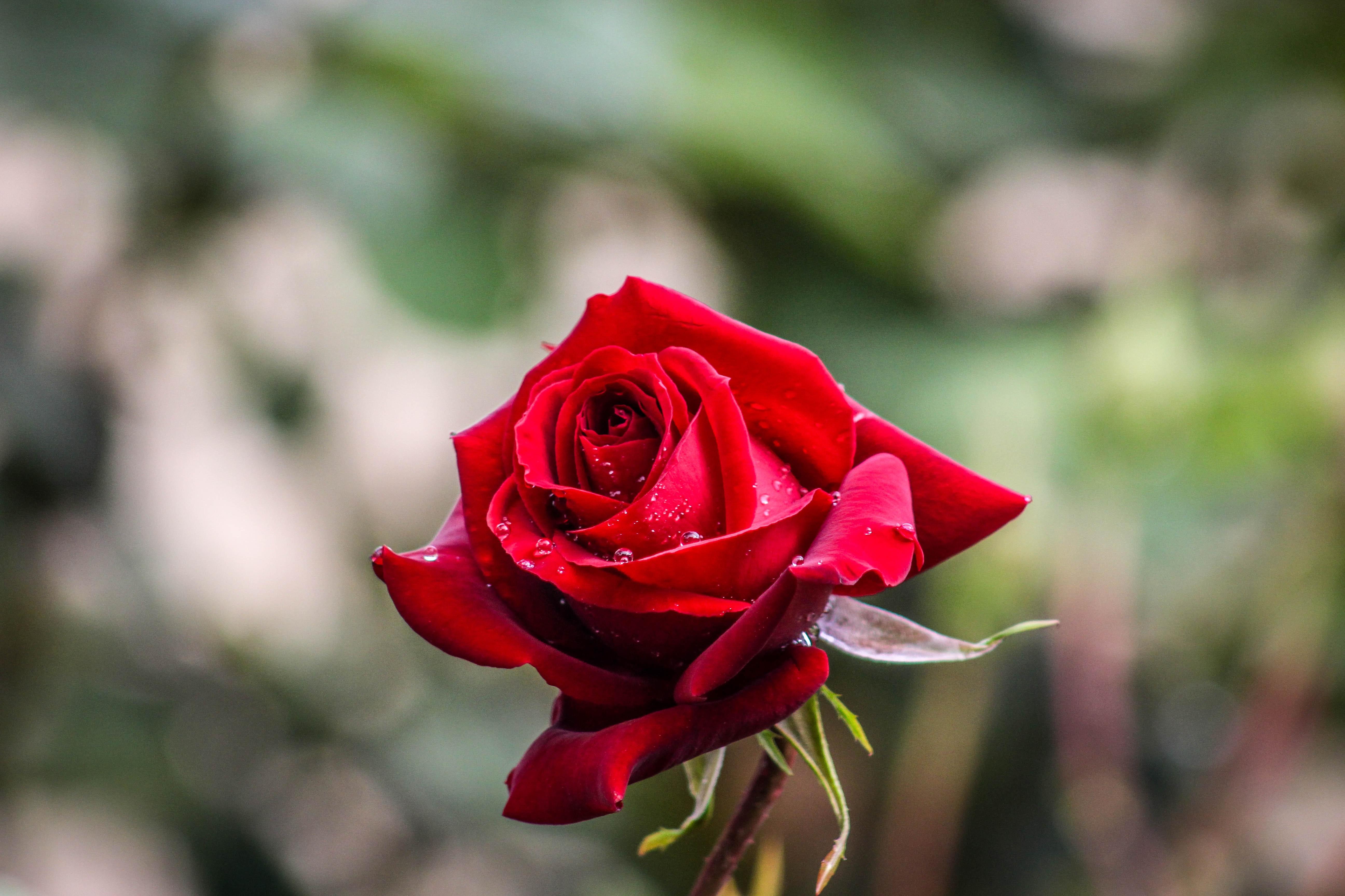 1000 Beautiful Red Rose Photos Pexels Free Stock Photos