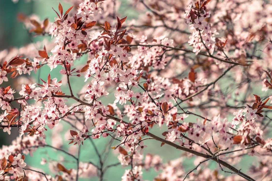 bimbó, cseresznye, cseresznyevirág