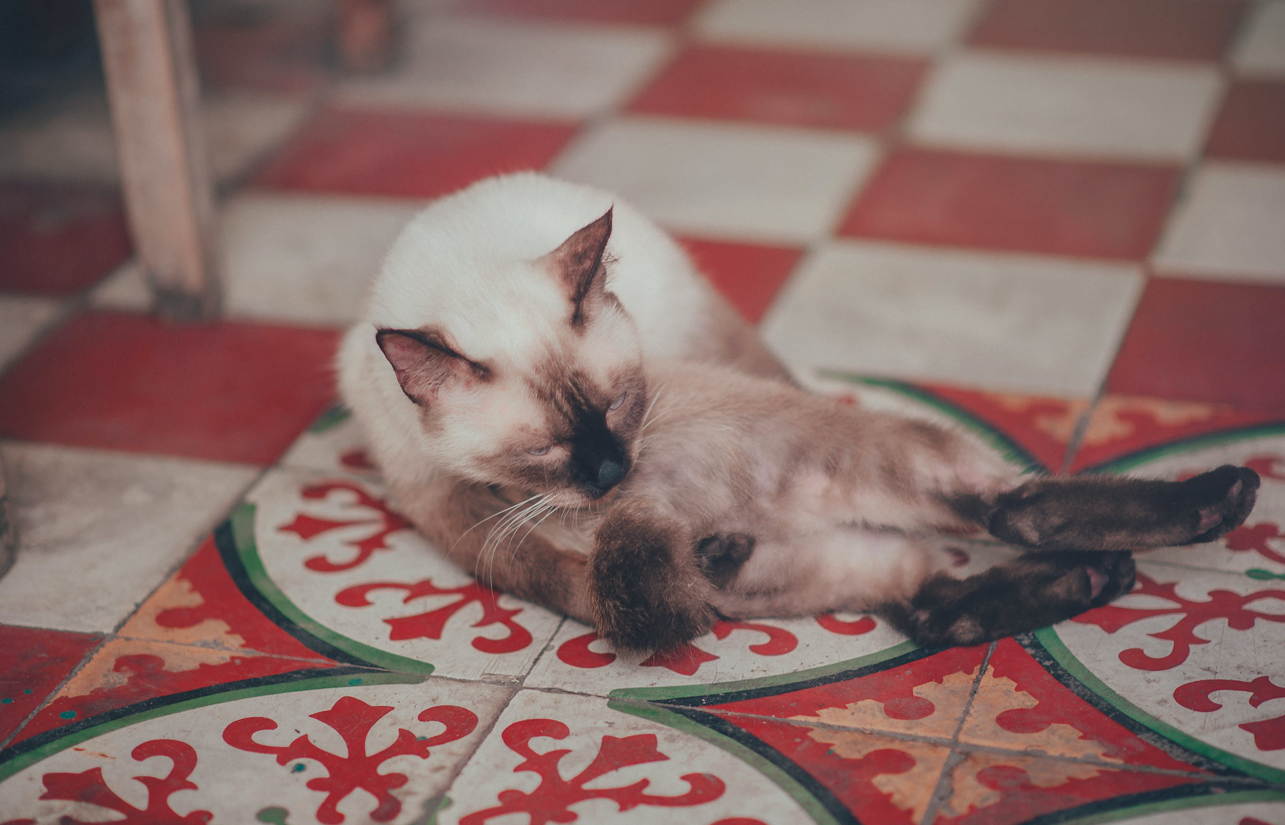 Photography of  White Siamese Cat Lying on Floor