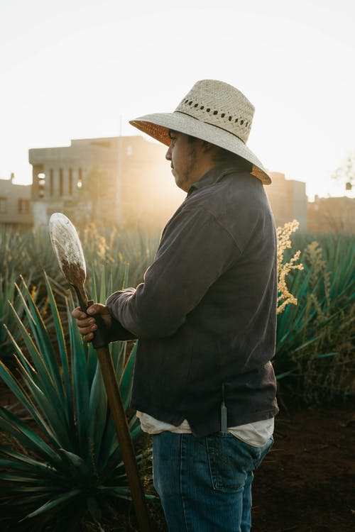Free stock photo of adult, agave, agriculture