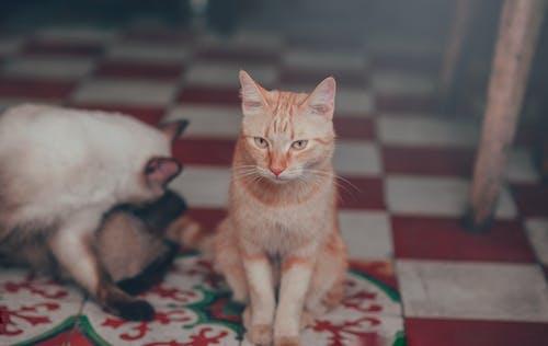 Бесплатное стоковое фото с глаза, глубина резкости, домашняя кошка, животное