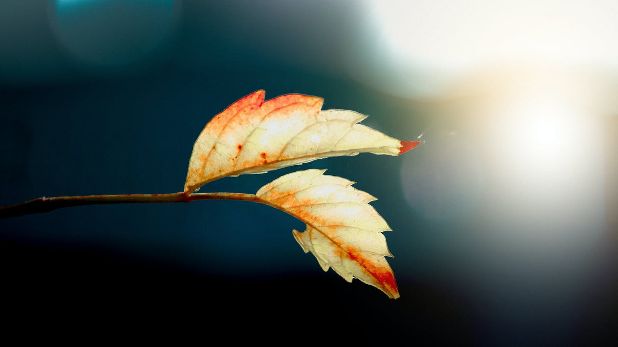 Two White Leafs