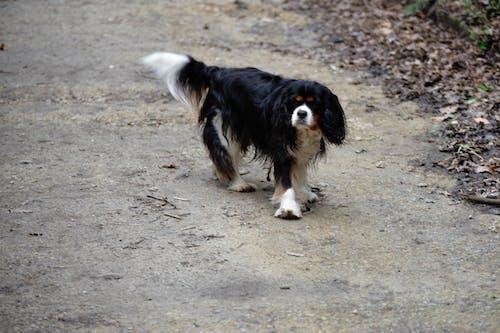 Darmowe zdjęcie z galerii z animal de compagnie, canin, chien, chien poils longs
