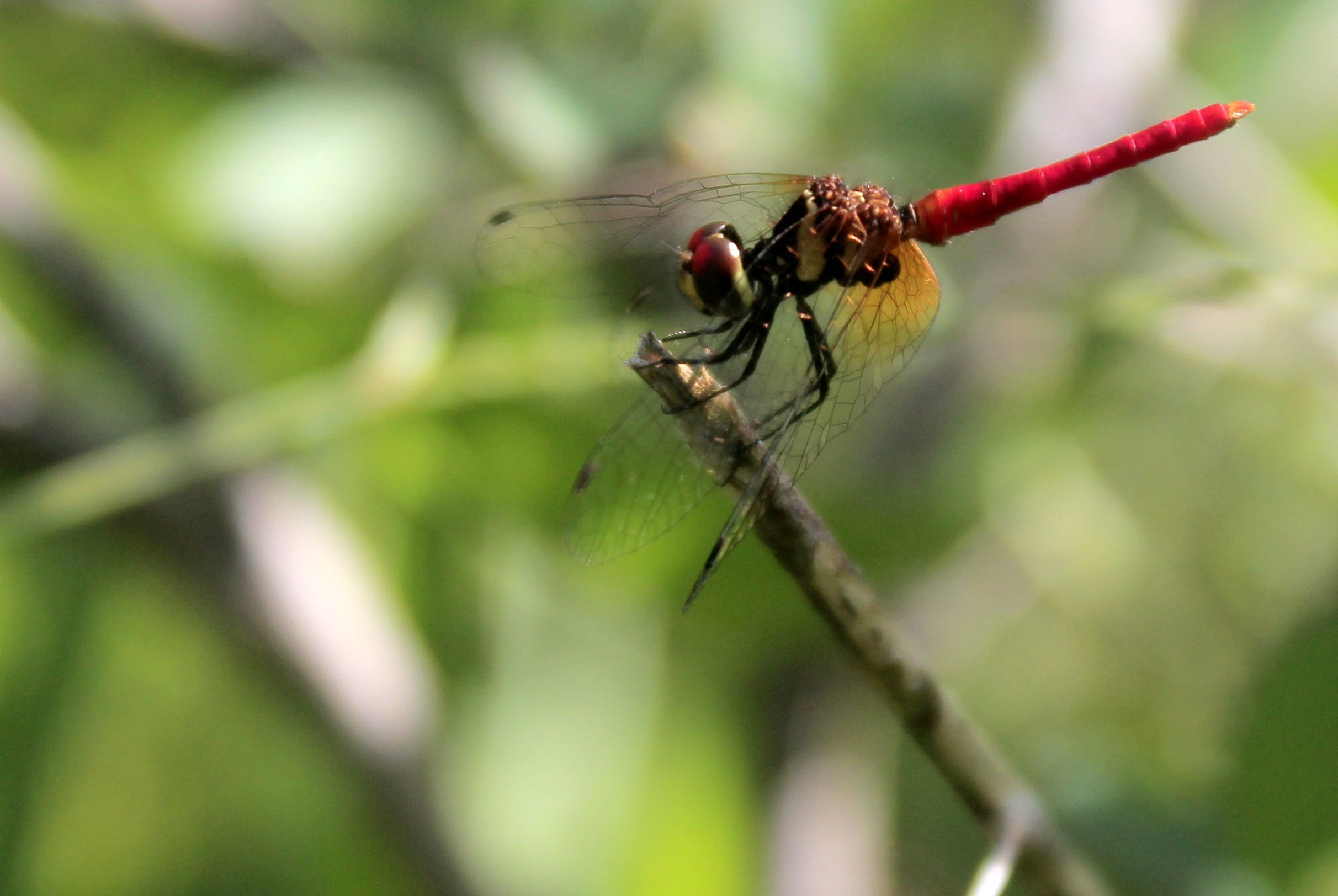 Free stock photo of #adventure, #bug, #capung, #dragonfly