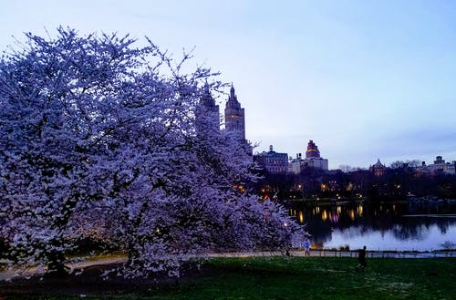 Free stock photo of centr, central park, cherry blossom, new york
