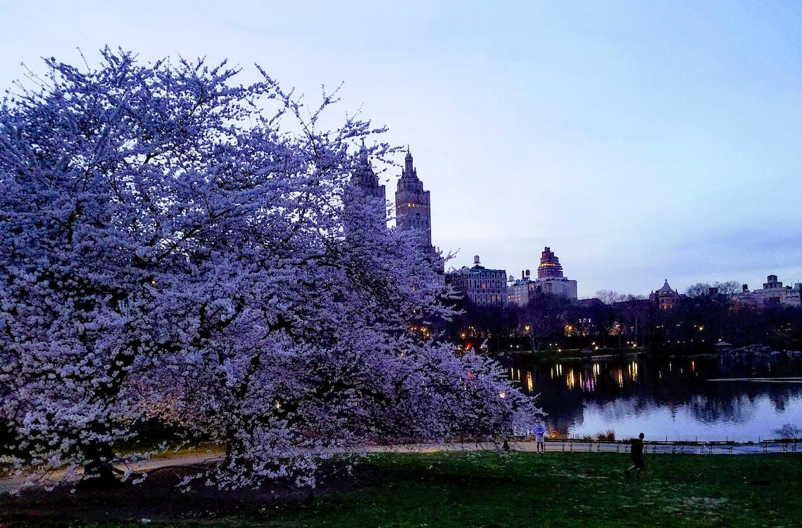 뉴욕, 미국, 벚꽃