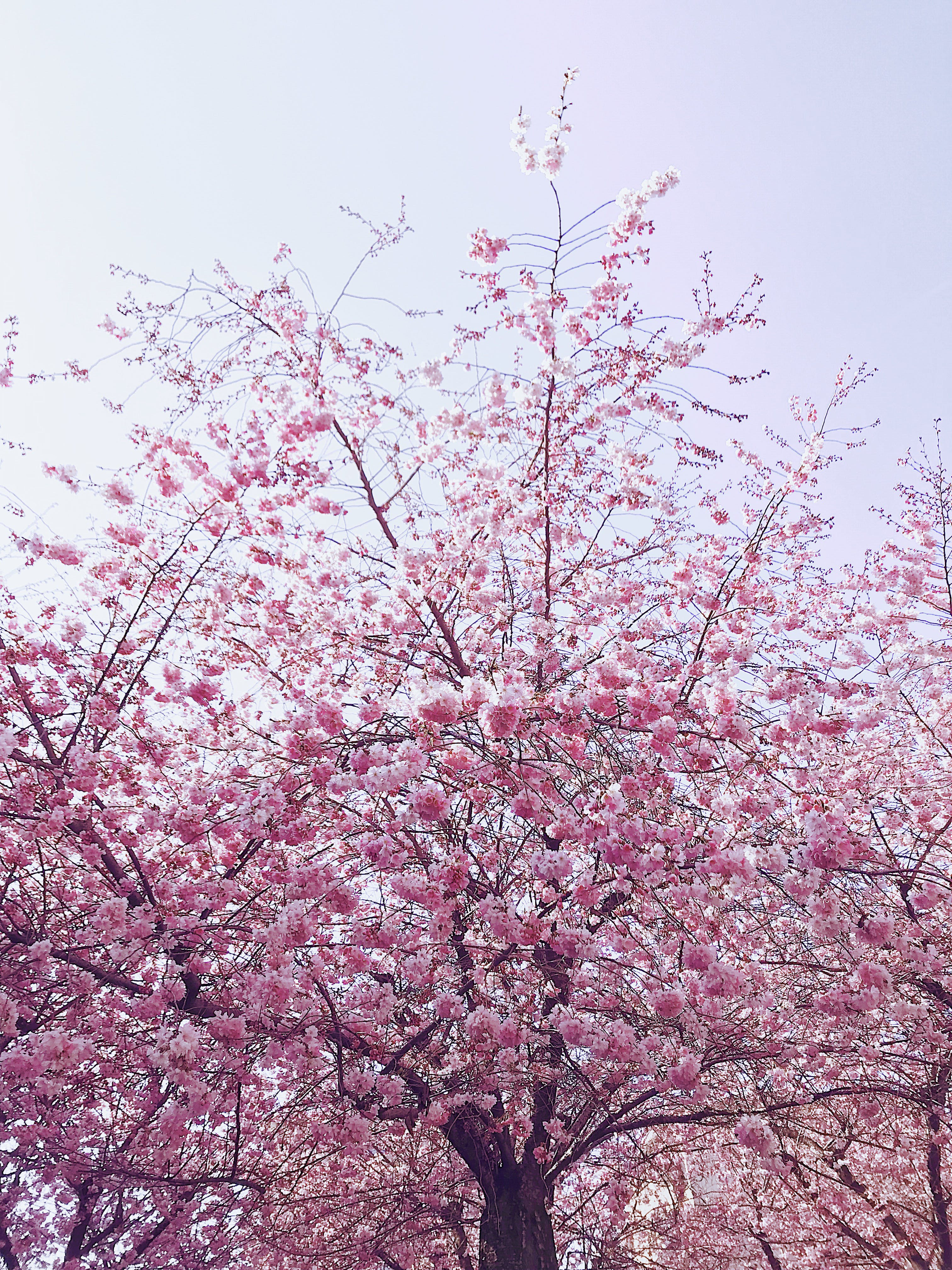 Photo of Cherry Blossom Tree