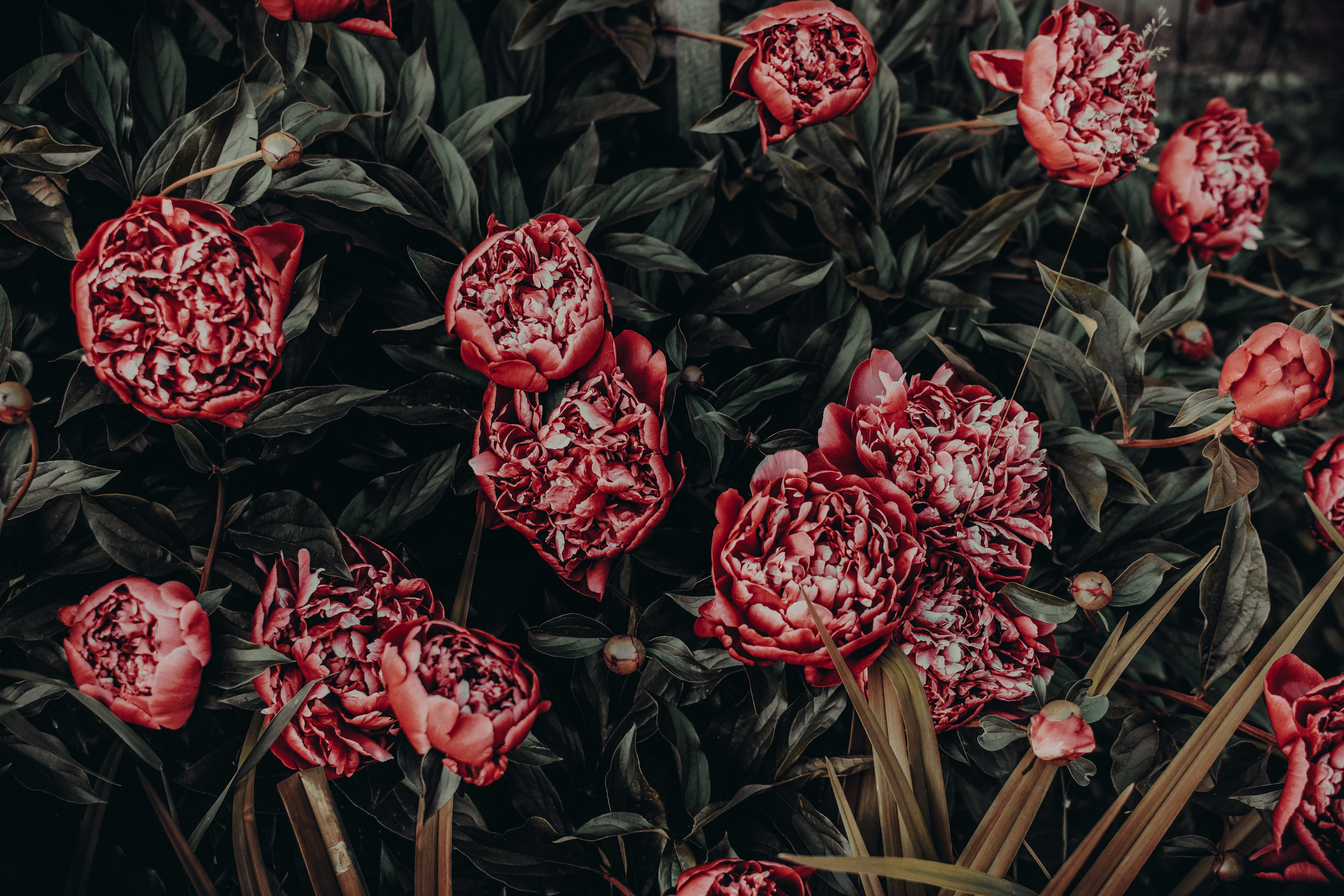 Photo of Red Peonies Painting