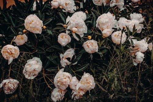 Darmowe zdjęcie z galerii z flora, jasny, kwiat, kwiaty