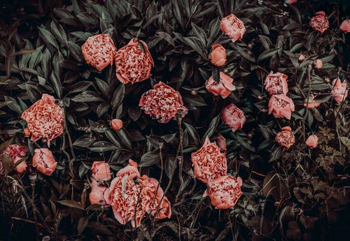 Photography of Pink Flowers Near Leaves