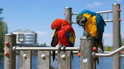 Two Assorted-color Parrots Perched on Gray Metal Rod