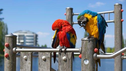 Základová fotografie zdarma na téma barevný, makro, papoušci, papoušek ara