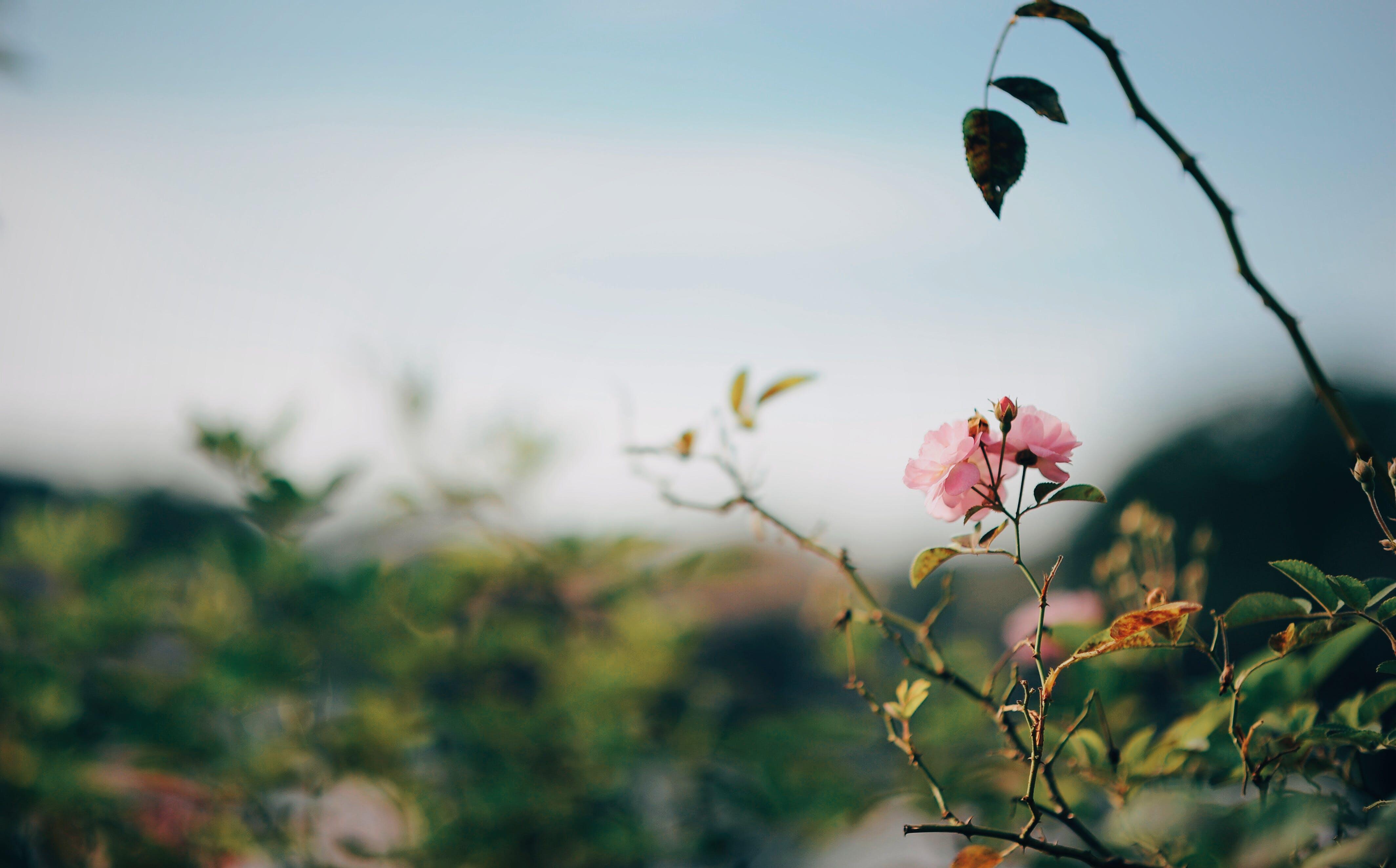 Pink Rose Selective-focus Photo