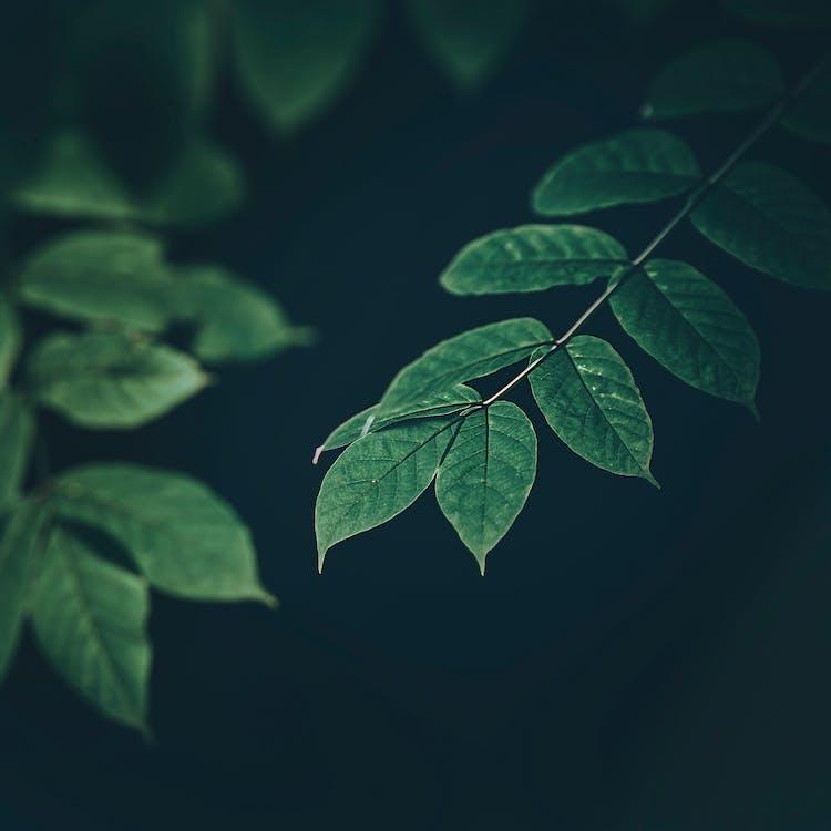 вена, Деревина, дерево