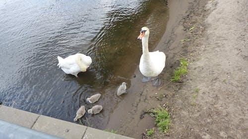 Free stock photo of animal, nature, swan