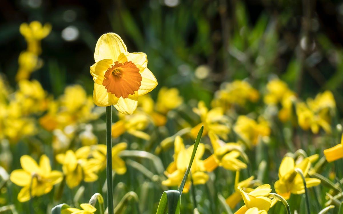 喇叭水仙, 黃色的花朵