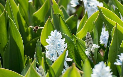 白色的花, 蜜蜂, 風信子 的 免費圖庫相片