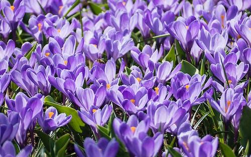 番紅花, 紫色的花朵, 蜜蜂 的 免費圖庫相片