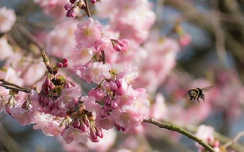 熊蜂, 粉紅色的花, 開花 的 免費圖庫相片