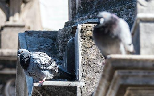 墳墓, 鴿子 的 免費圖庫相片