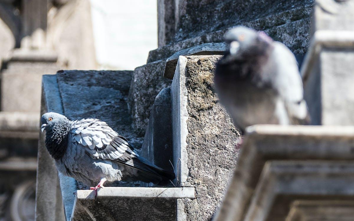 นกพิราบ, หลุมฝังศพ