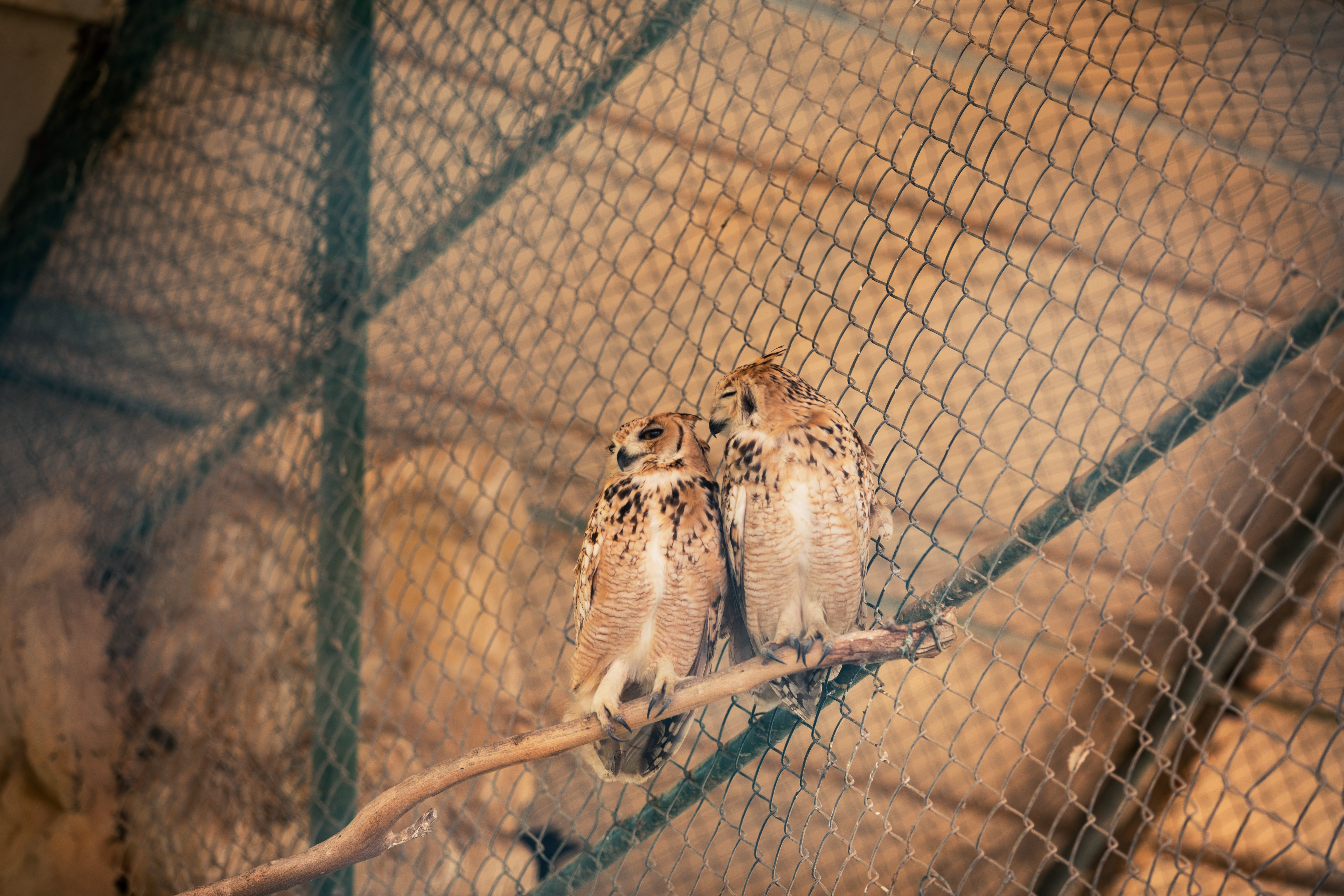 Two Brown Owls