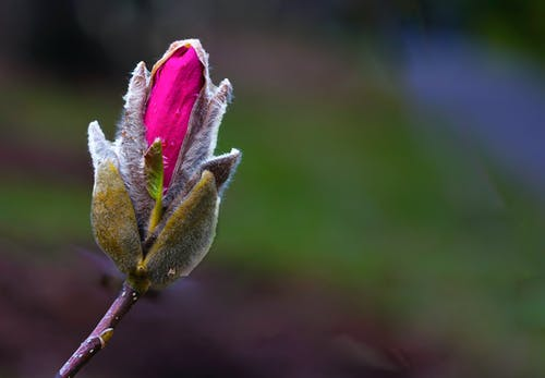 Selective Focus Photography Of Pink Rose Flower Bud