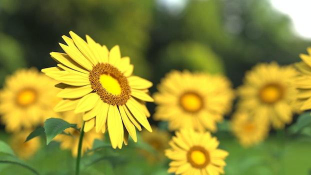 HD wallpaper of flowers, plants, macro, sunflowers