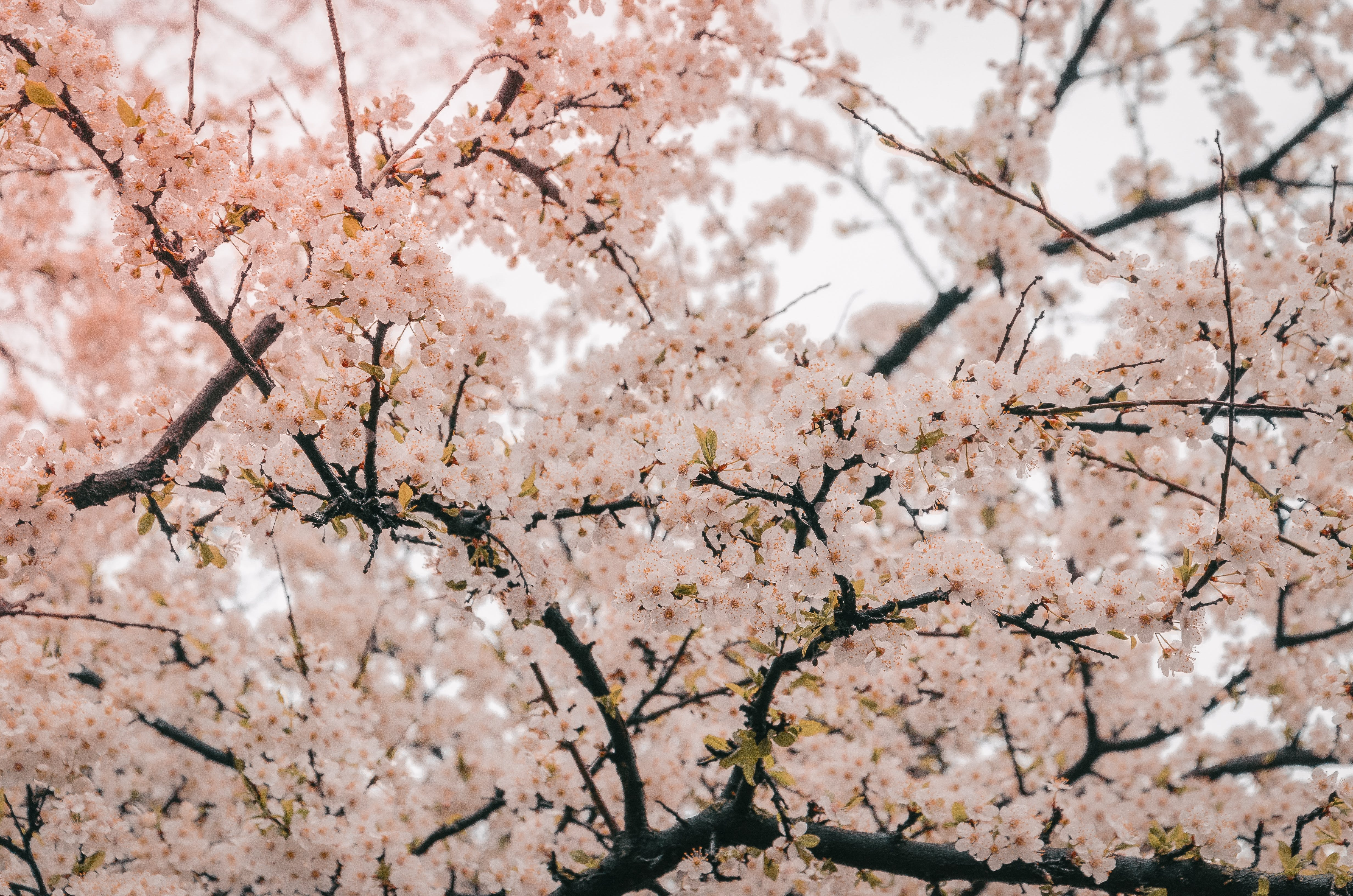 Photography of Cherry Blossom