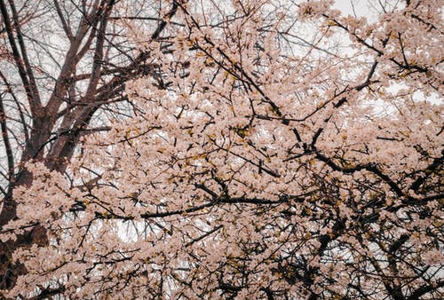 Fotobanka sbezplatnými fotkami na tému čerešňový kvet, flóra, jemný, krásny