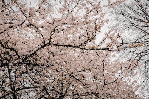 Ilmainen kuvapankkikuva tunnisteilla hauras, kasvikunta, kaunis, kirsikankukka
