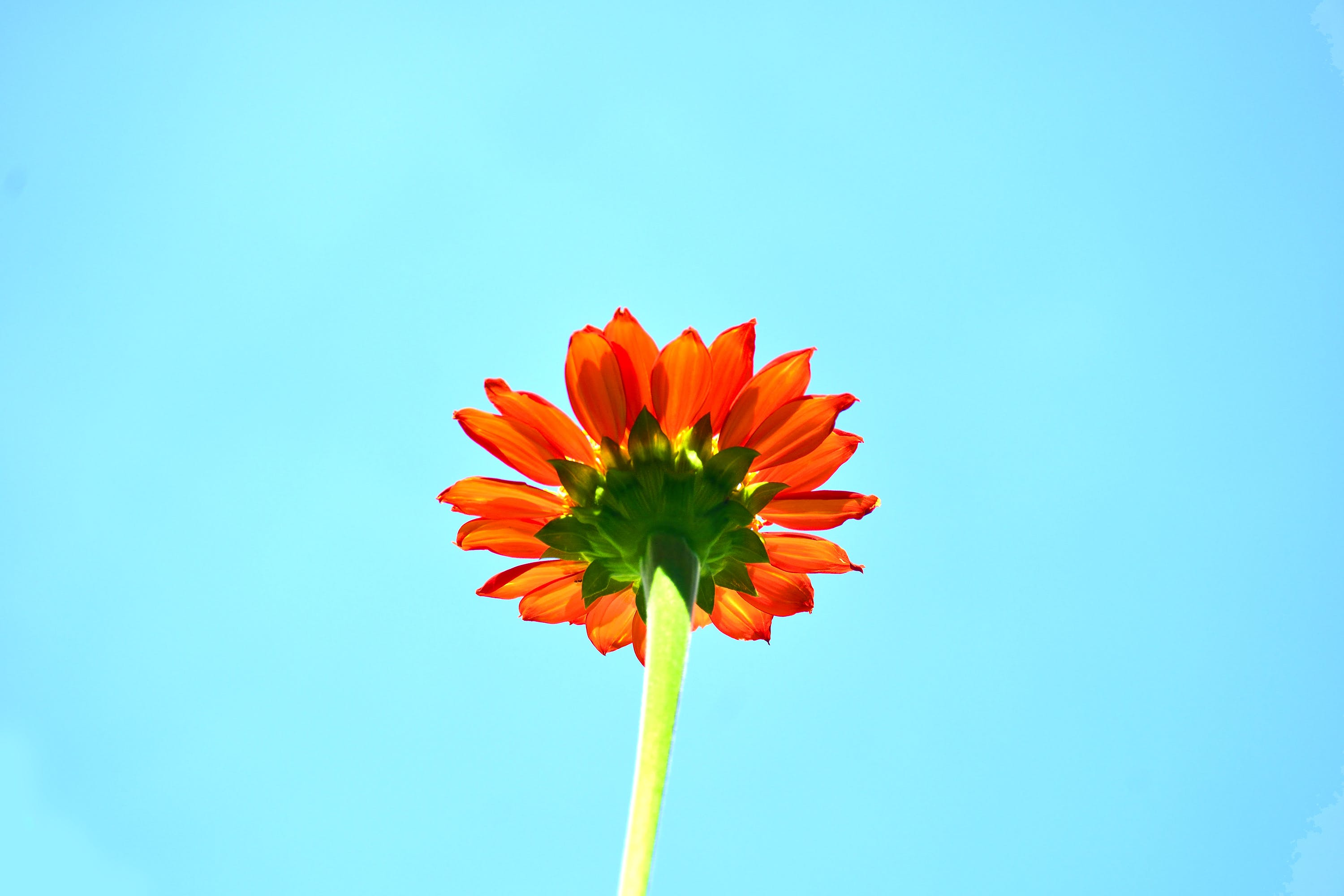 Orange Sunflower in Bloom Low-angle Photography