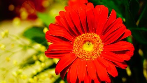 Kostenloses Stock Foto zu λολλούδι κήποου, αγριολούλοδδα, μοουκέτο λολλούδια, όμορφα λολλούδια