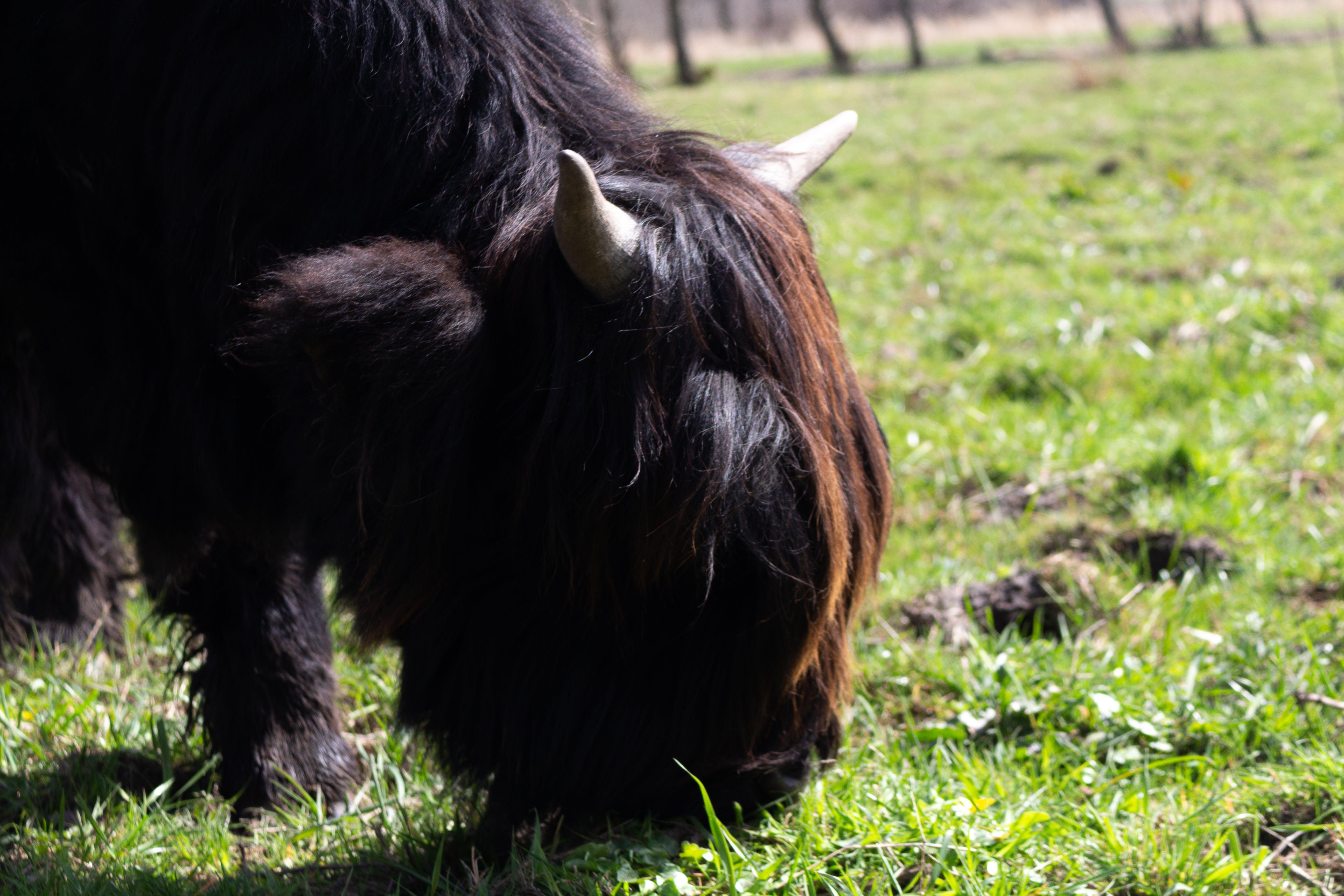 Free stock photo of animal, Burgemeester Rasterhoffpark, netherlands, schotse hooglander