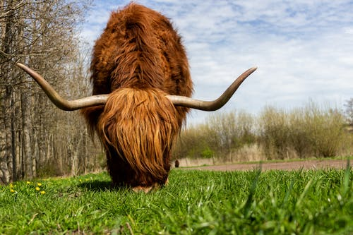 Shallow Focus Photography of Brown Highland Cow