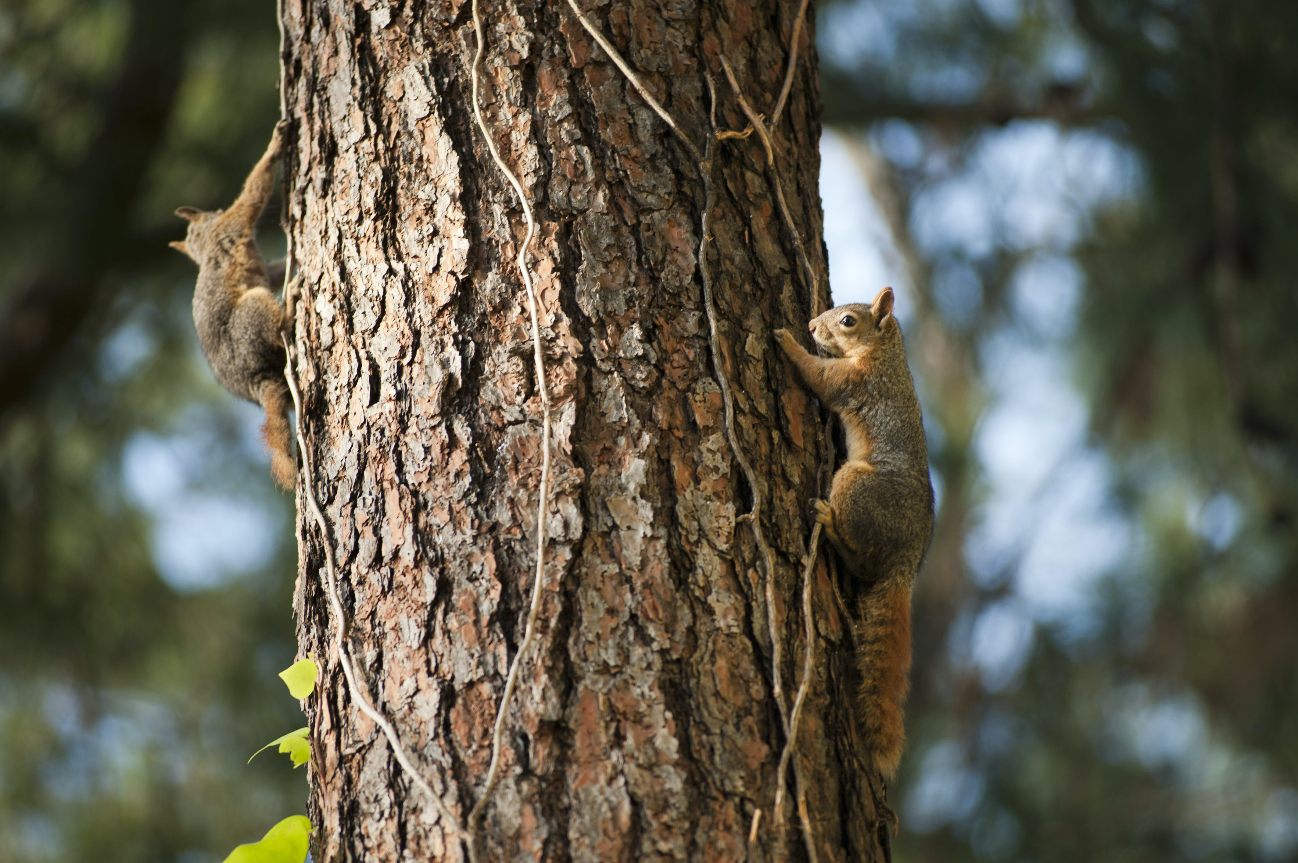 Two Squirrels on Tree Trunk