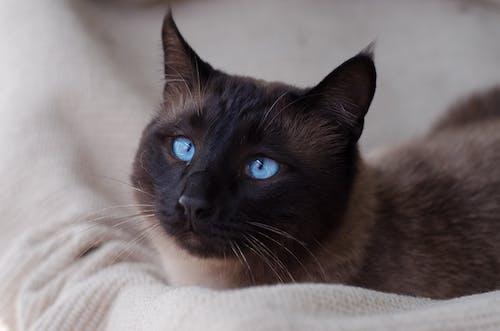 Immagine gratuita di azzurro, gatti, gattino, gatto