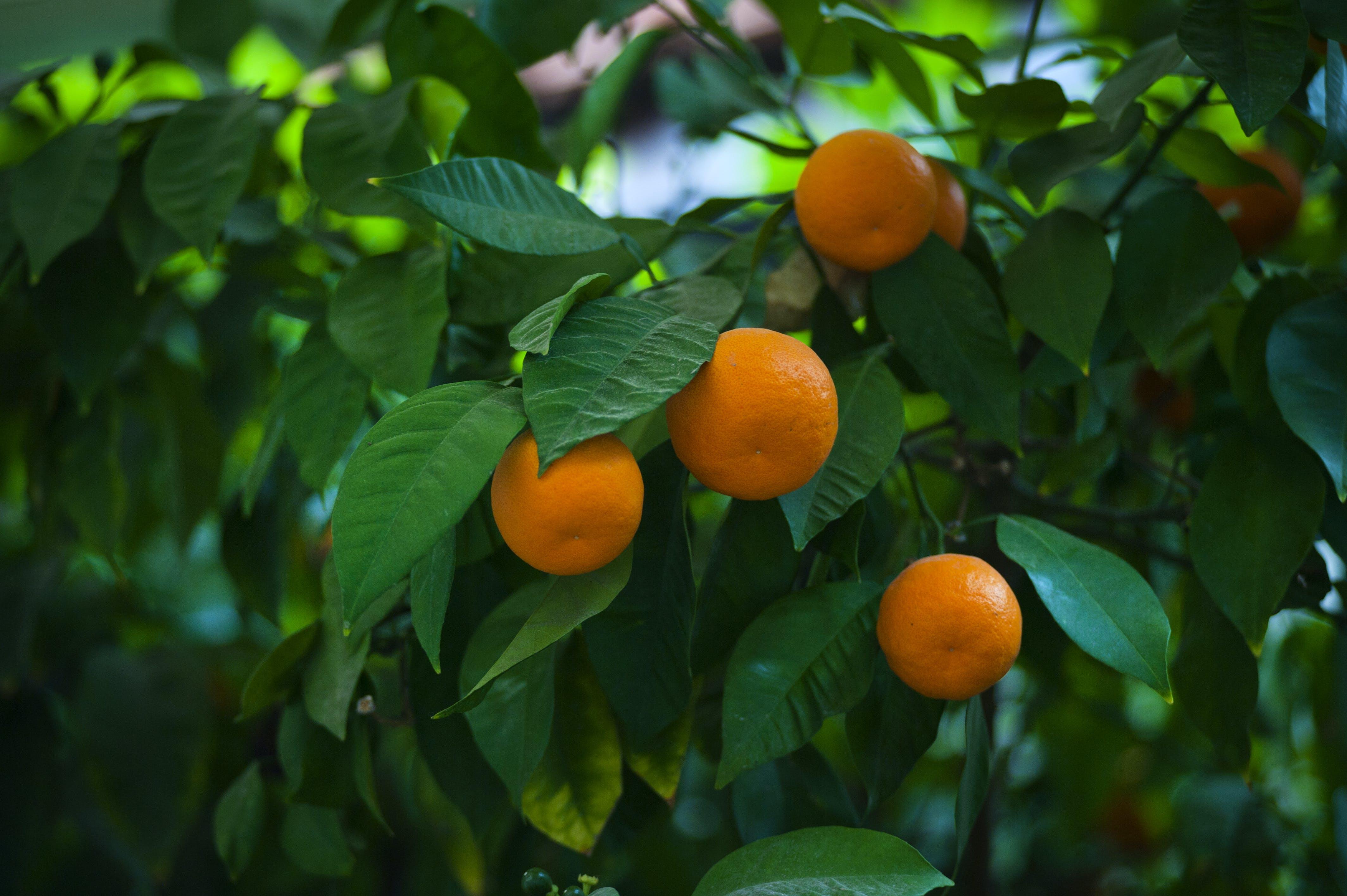 Free stock photo of turkey, citrus fruit, mandarins, marmaris