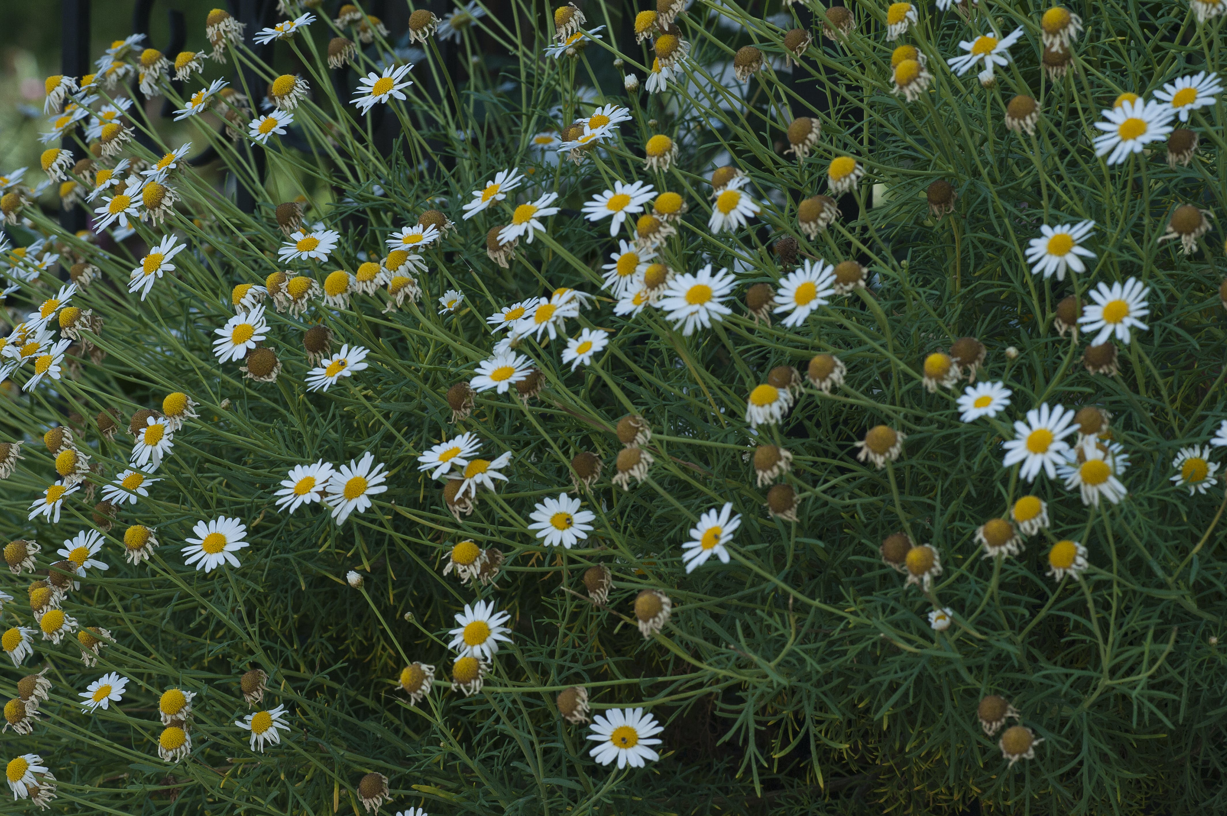Free stock photo of chamomile, green, spring, spring flowers