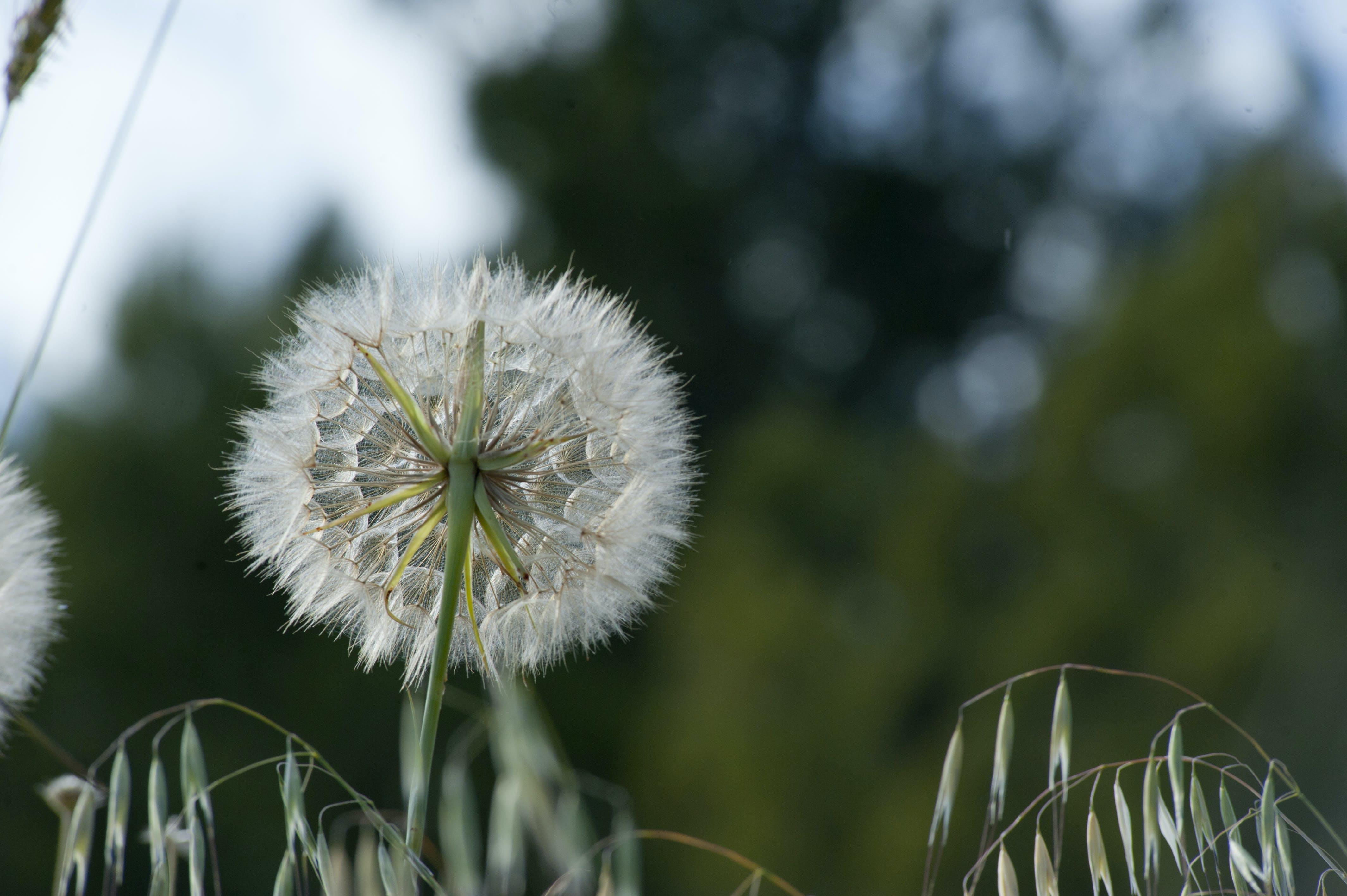 Бесплатное стоковое фото с красивый, нежный, одуванчик, природа