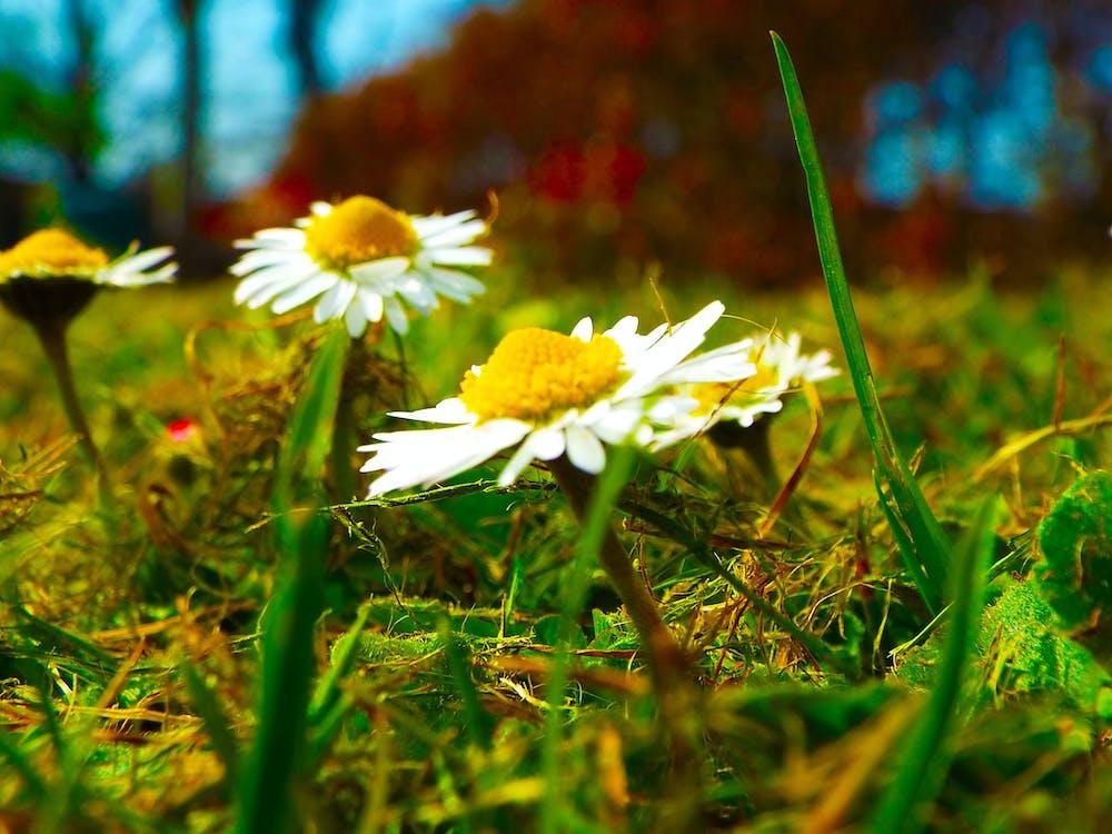 маргаритка природа трава жёлтый