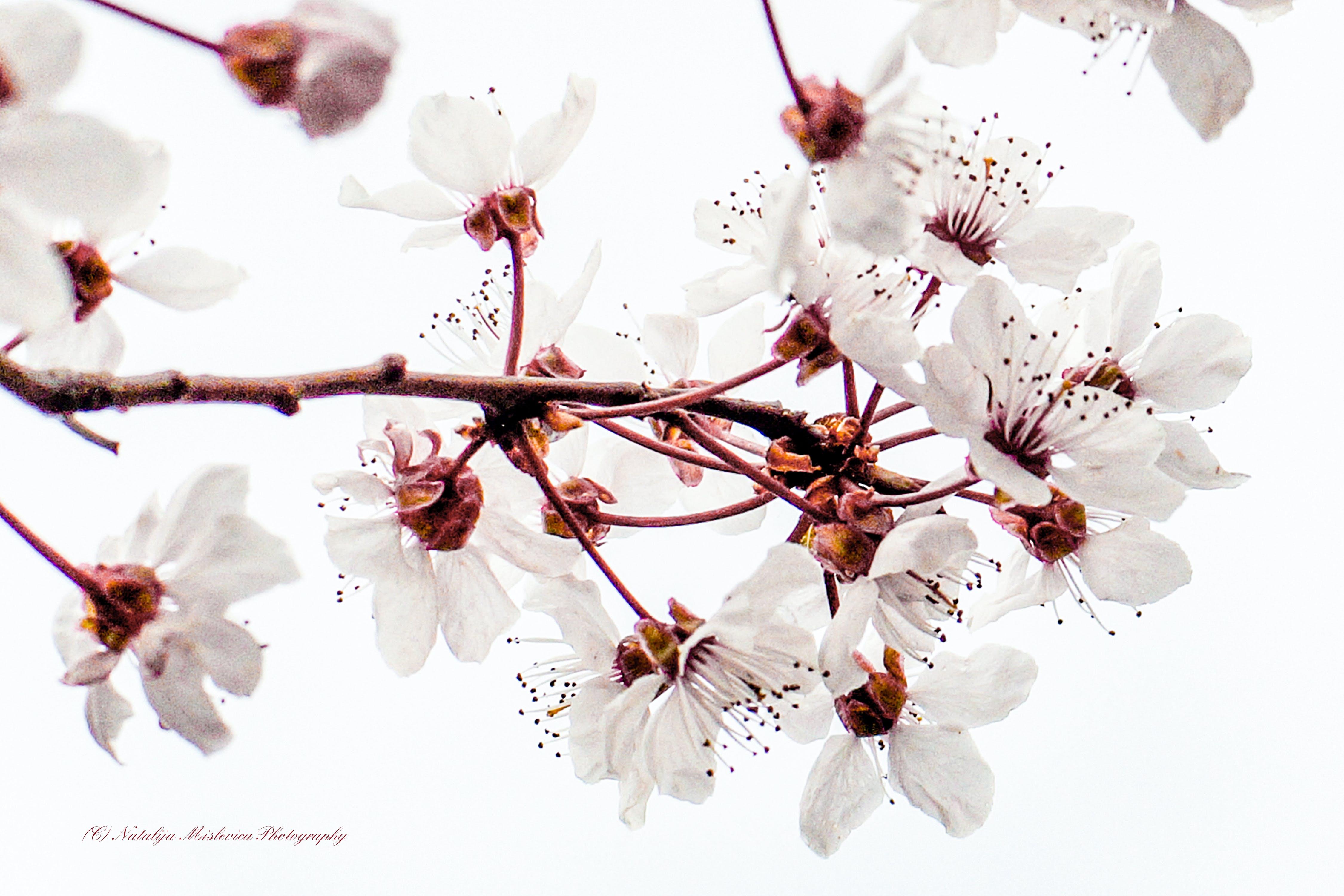 Kostenloses Stock Foto zu flora, frühlingsblume, kirschblüte, weiß