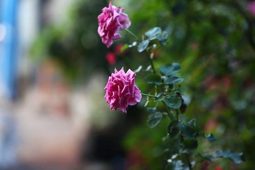 Immagine gratuita di fiori, rosa