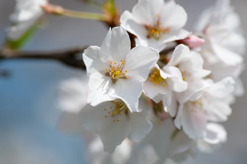 Macro Photography of Cherry Blossom