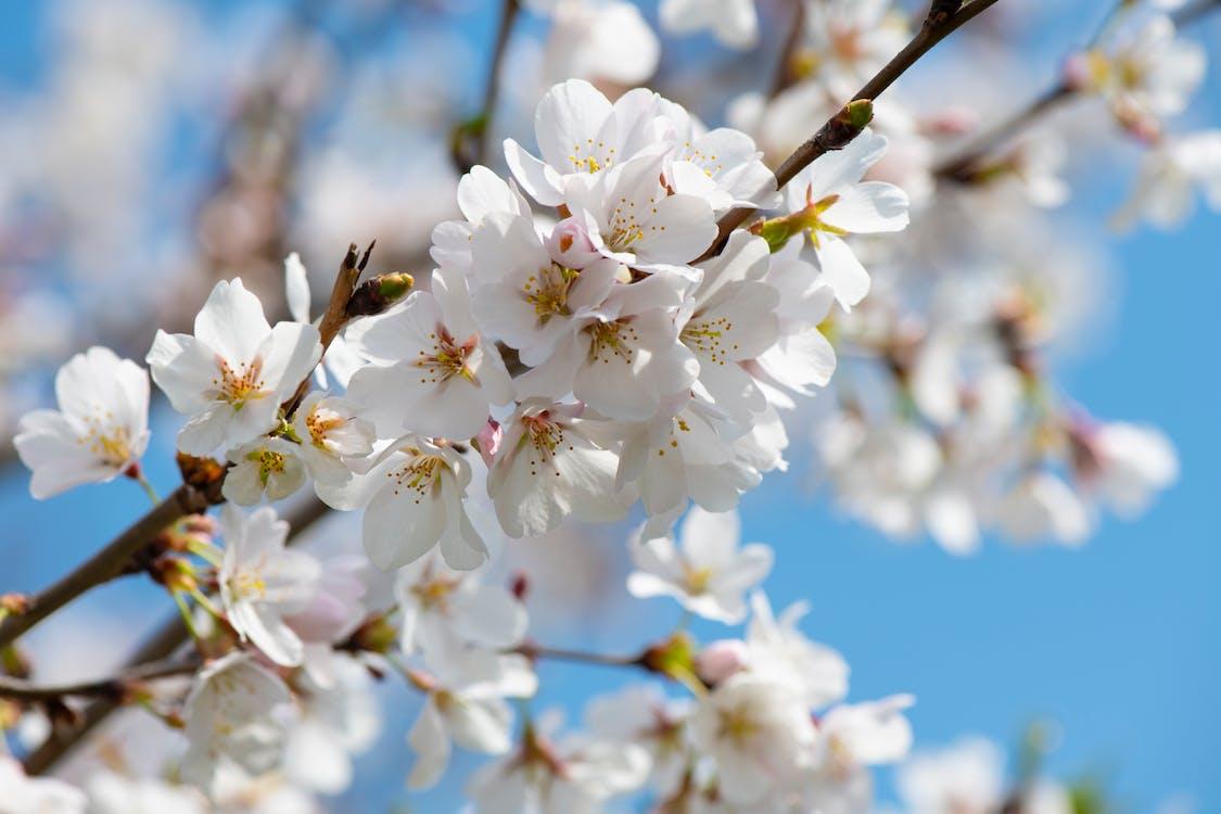 bagus, berbunga, bunga sakura