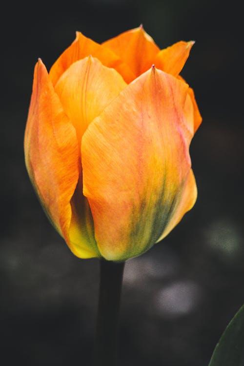 Photographie De Mise Au Point Sélective De Fleur De Tulipe Orange